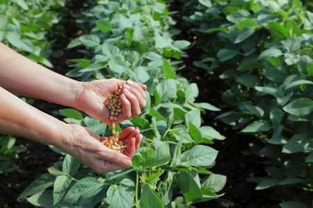 Human hand with soy seed and soy field photo