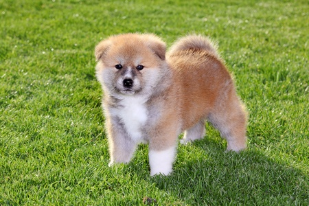 One  Akita Inu puppy dog on green grass photo
