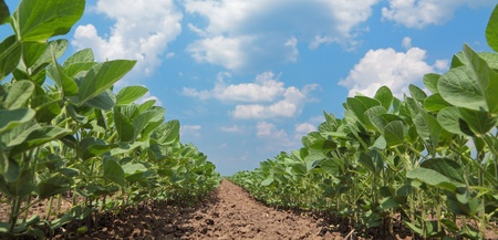 soybeans: Green cultivated soy plant field in early summer
