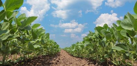 soya: Verde de la soja cultivada de las centrales a principios de verano