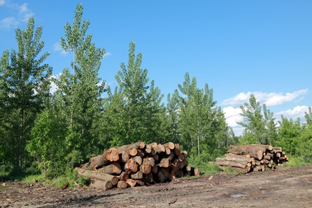 sawed: Heap of freshly sawed wood  in spring forest Stock Photo