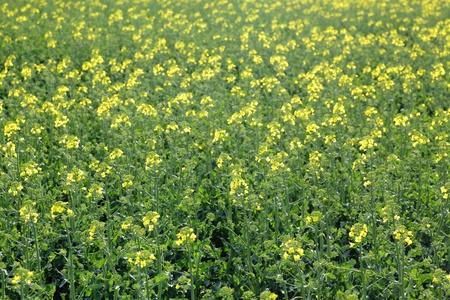 oilseed rape: Oil rape in field in early spring