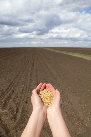 Human hands with wheat seed and field ready for sowing photo