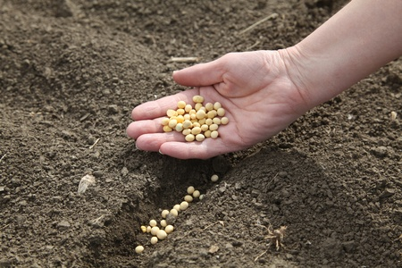 Human hand holding soybean, sowing time in field photo
