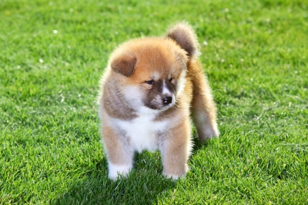One  Akita Inu puppy dog on green grass Stock Photo - 13846192