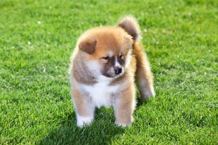 One  Akita Inu puppy dog on green grass Stock Photo - 13846192