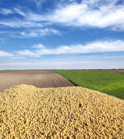 Heap of soy bean after harvest and field Stock Photo