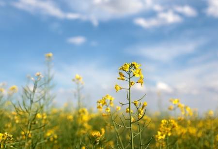 oil rape: Oil rape flowers in field in early spring Stock Photo