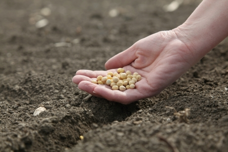 Human hand holding soybean, sowing time in field