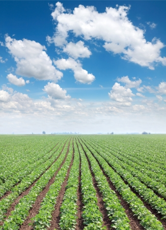 Soy field in spring with beautiful blue sky and white fluffy clouds