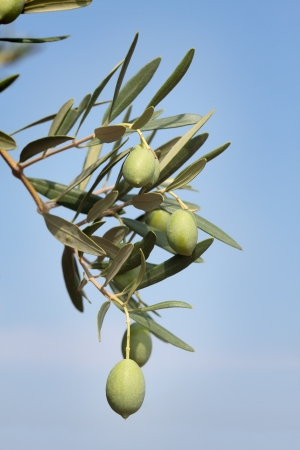 Close up of olives at tree branch, Mediterranean countries photo
