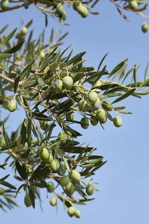 Olives at olive tree branch, Mediterranean countries photo