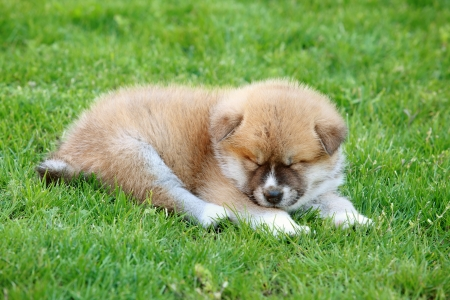 Akita Inu puppy dog sleeping on green grass photo