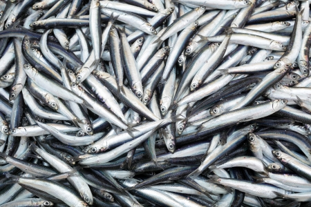 sardinas: Montón de pequeños peces del Mediterráneo en el mercado