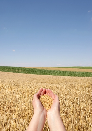 Human hand holding wheat, with field  in background photo