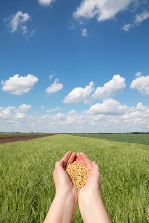 Human hand holding wheat, with field  in background Stock Photo - 15112010