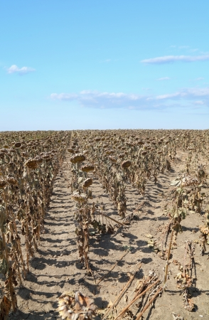 Natural disaster, drought in a sunflowers field, Serbia, Vojvodina 2012