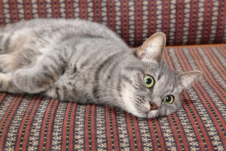 Mix breed domestic gray cat at sofa Stock Photo - 16568458