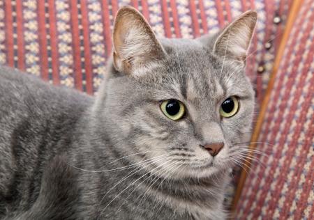 Mix breed domestic gray cat at sofa Stock Photo - 16568456