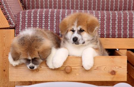 akita: Pets, two Akita Inu puppy dog in drawer of sofa