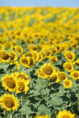 sunflower field: Sunflower field in early summer selective focus Stock Photo