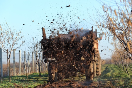fertilize: Fertilize of cow dung from tractor trail in hazelnut orchard
