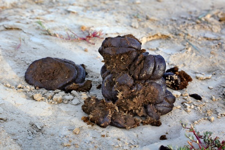 unpleasant: Closeup photo of cow dung at dry ground Stock Photo