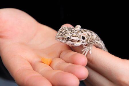 bearded dragon lizard: Feeding of bearded dragon lizard in human hand Stock Photo