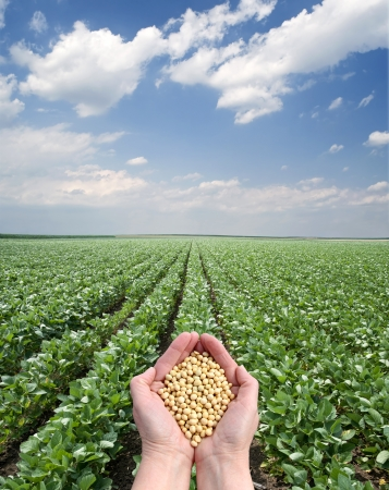 Human hand holding soybean, with field  in background photo