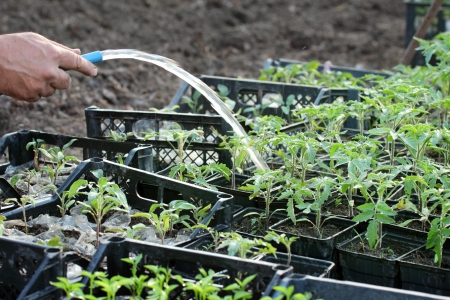 Watering of tomato plant seedlings in a greenhouse photo