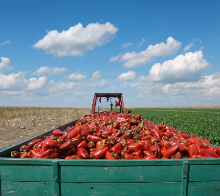 Agriculture, tractor with heap of paprika after harvest