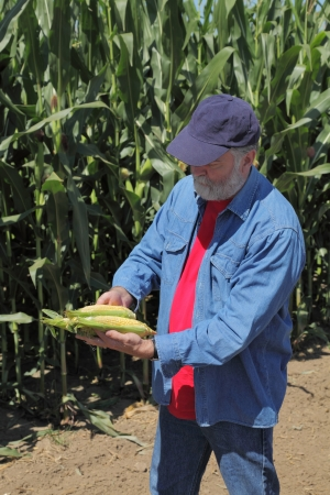 Farmer holding corn cobs in hands in front of corn plant Stock Photo - 21465043
