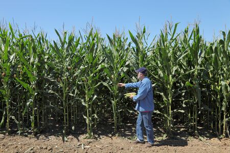 agronomist: Farmer or agronomist inspecting corn plant in field Stock Photo