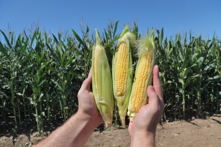 sweetcorn: Closeup of farmers hands holding corn cobs in field