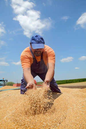 crop harvest: Wheat harvest, farmer at tractor trailer moving crop