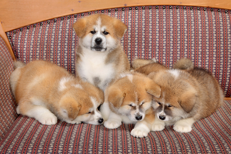 Young pets, four Akita Inu puppy dogs at couch, group of animals photo