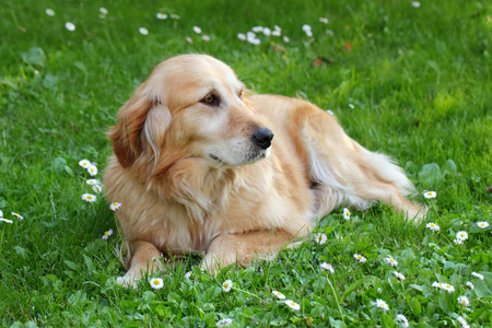 Female golden retriever lying at grass in spring, selective focus photo