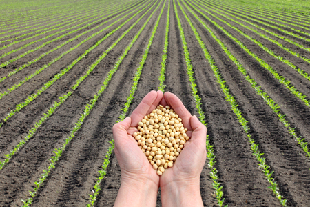 Human hand holding soybean with soy plant field  in background, agricultural concept