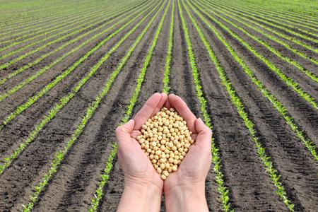 Menselijke hand houden van soja met soja planten veld in de achtergrond, de landbouw-concept