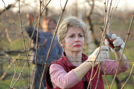 pruning shears: Mid adult female pruning grape in a vineyard selective focus on face