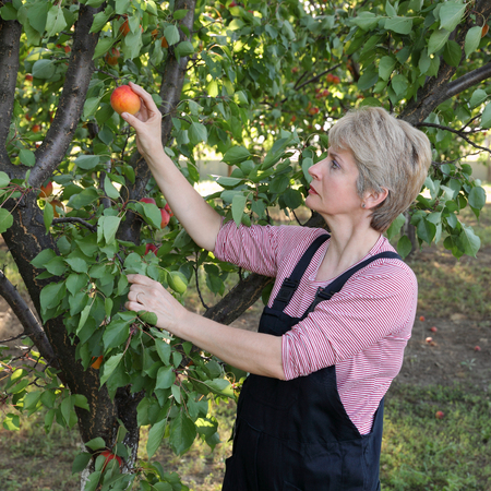 Female farmer picking apricot fruit from tree in orchard photo