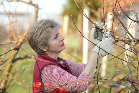 pruning shears: Mid adult female pruning tree in orchard selective focus on face Stock Photo