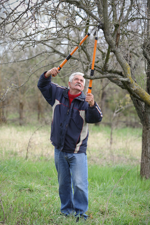 APPLE trees: Senior man pruning tree in orchard, active retirement, selective focus on face