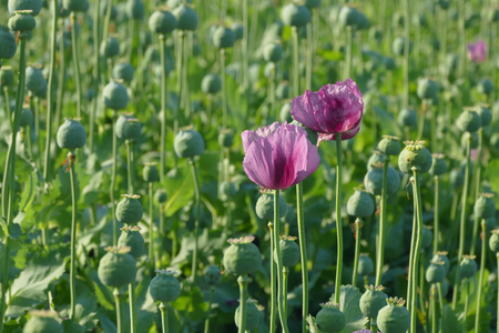 cocoons: Poppy flower and green cocoons in field, spring