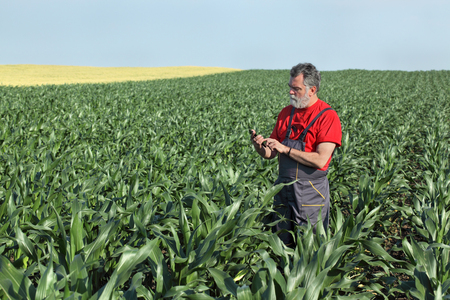 Farmer  inspect quality of corn using phone or tablet 스톡 콘텐츠