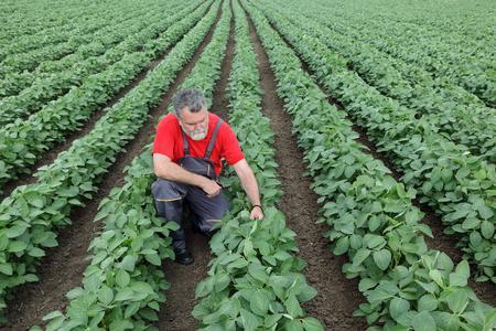 granjero: Agricultor o agrónomo examinan planta de soja en el campo Foto de archivo