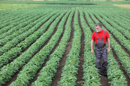 Farmer or agronomist walking in soybean field and examine plant Stockfoto