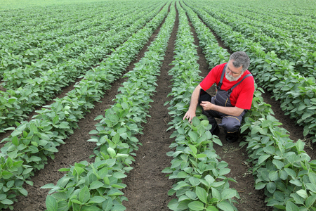 agronomist: Farmer or agronomist examine soybean plant in field using tablet