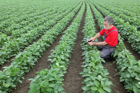 field work: Farmer or agronomist examine soybean plant in field using tablet