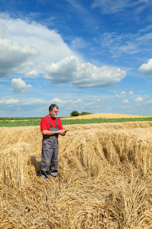 agronomist: Farmer or agronomist examine damaged wheat plant in field using tablet, harvest time